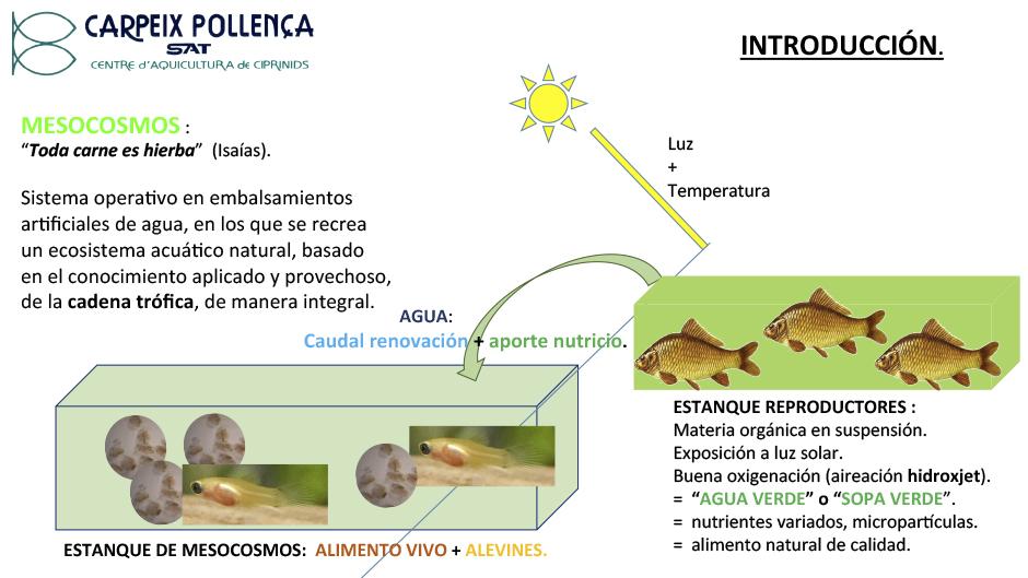 Producción de tencas en condiciones de mesocosmos.pptx